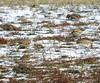 Lapland Longspur_Horned Larks_N2676 (Henryr10) Tags: ottoarmlederpark hamiltoncountyparkdistrict cincinnati ottoarmledermemorialpark armlederpark littlemiamiriver greatparksofhamiltoncounty eremophilaalpestris hornedlark lark eremophila vogel ibon oiseau pasare fågel uccello tékklistar hola laplandlongspur longspur calcariuslapponicus calcarius avian bird lalo