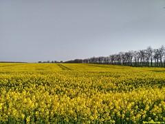 Желтые поля вдоль дороги! Настоящая весна на Юге России!
