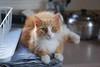 wide-eyed Jimmy with kettle (rootcrop54) Tags: jimmy longhair longhaired orange ginger tabby male dish drainer kitchen counter neko macska kedi 猫 kočka kissa γάτα köttur kucing gatto 고양이 kaķis katė katt katze katzen kot кошка mačka gatos maček kitteh chat ネコ