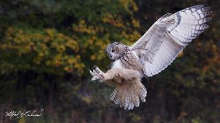 Eagle Owl_T3W3683