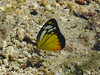 Cepora iudith (Green Baron Pro) Tags: 201712 perlis malaysia butterfly pieridae pierinae