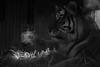 Tiger Breath (virtualwayfarer) Tags: copenhagen zoo animals kobenhavn kbh cph visitdenmark visitcopenhagen tourism attractions lenstest asiantiger tiger largetiger bigcat striped stripes playful breath breathing steam smoke light winter cold coldair sonya7rii sony70300 alexberger travelphotography animalphotography