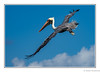 Oh, What a Feeling (Robert Streithorst) Tags: bird inflight mexico oasisoftheseasrobertstreithorst pelican wingspan