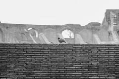 pensive pigeon (lufcwls) Tags: rome roma europe italia italy capital city roman wildlife bird pigeon sad colosseum flavian ampitheatre world wonder wall monochrome black white canon eos 500d rebel t1i travel travelling holiday