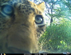 Leopard encounters camera