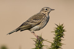 Meadow Pipit - Anthus pratensis (Rosehip Mike) Tags: meadow pipit anthus pratensis gorse wildlife photography england european english eurasian birds uk united kingdom insect eater in flight outdoor posing pose perched perch adult small song habitat britain british bokeh bird nature natural