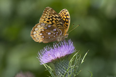 Butterfly 2017-180 (michaelramsdell1967) Tags: butterfly butterflies animal animals nature insect insects green bokeh beauty beautiful meadow thistle flower pretty vivid vibrant upclose closeup outside wild wilderness field purple wildflower wildlife detail moth wings zen