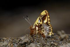 Anteros principalis (Hiro Takenouchi) Tags: vagantes coroico bolivia insect butterflies butterfly schmetterling papillon wildlife nature