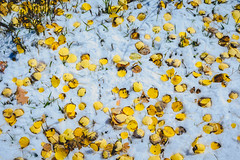 Aspen leaves and snow (bumeister1) Tags: lasalloop lasalmountains utahtrip2017 aspens utah nikon landscape fall autumn