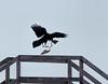 Beggars Can't Be Choosers (edmason88) Tags: raven pigeon remains scavengers tamron150600 albertagrainterminals edmonton alberta