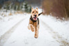 Putting his best foot forward (Gareth R O Dawes) Tags: airedale airedaleterrier terrier snow neige nieve schnee dog hund chien canoneos5dmkiv canoneos5d4 canonef85mmf14lisusm 85f14 85mm 85l