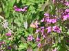 Lunaria annua & Distelfalter (Redoute Gardener) Tags: distelfalter