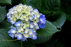 Hydrangea (sal tinoco) Tags: hydrangea flower fantasticflower flowers flora floral field plant pollen petal purple pastel blue blossom beautiful beauty