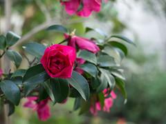 Camellia (odeleapple) Tags: olympus e5 zuiko digital zd 40150mm camellia blossom flower