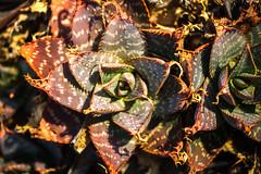 I Know I Shouldn't Have (Thomas Hawk) Tags: america california huntington huntingtonbotanicalgarden losangeles sanmarino southerncalifornia thehuntington usa unitedstates unitedstatesofamerica botanicalgarden cactus desertgarden fav10