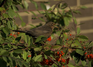 Eurasian Blackbird DSC_5309
