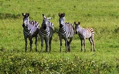 4 Zebras (tor-falke) Tags: zèbre zebra africa afrika afrique african afrikanwildlife safari fotosafari tansania serengeti outdoor animal animals animaux wild wildlife wildpferd gras grün green ngc landschaft tier feld