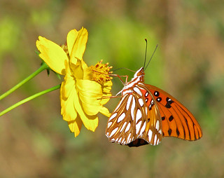 12 Days of Christmas Butterflies:  #8 Simeon's story