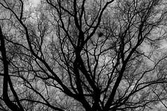 Squirrel Drey (Mike J Maguire) Tags: mitakon50mmf095speedmaster washingtondc blackandwhite monochrome drey squirrelnest tree