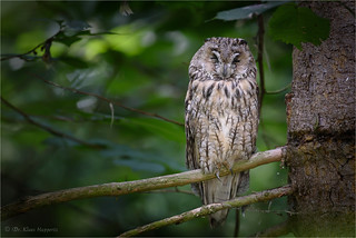 long-eared owl, asleep