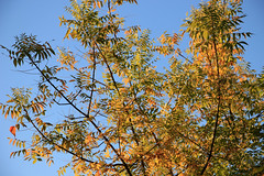 Evening Leaves (JB by the Sea) Tags: sonoma sonomacounty california winecountry sonomavalley november2017 sonomaplaza tree trees