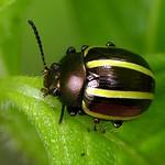 Leaf beetle, Desmogramma sp., Chrysomelidae thumbnail