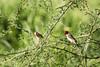 Red Billed Quelea (Sheldrickfalls) Tags: queleaquelea redbilledqueleas redbilledquelea rooibekkwelea makuleke makulekeconcession krugernationalpark kruger krugerpark limpopo southafrica