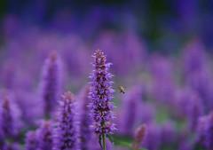Savill Gardens (tonybill) Tags: egham flowers gardens june miscellaneous savillgardens sonya7ii sonyfe85mmf14gm surrey windsorgreatpark bokeh