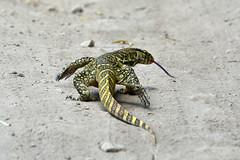 Monitor lizard (supersky77) Tags: queenelizabethnationalpark monitorlizard tongue lingua reptile rettile lizard mweya uganda africa