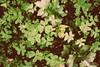 La tribu de los Trihojas (Violeta G.) Tags: verde treboles hojas campo silvestre
