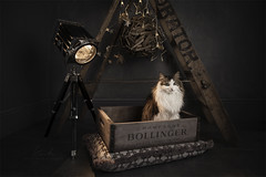 After Christmas (kerto.co.uk) Tags: cat studio lights photography setup christmas xmas obedient night time animal pet photo studiophotography kerto strobes
