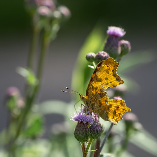 Battle-scarred comma...