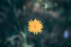 Dandelion (stevoeh) Tags: oregon forest woods green bokeh sigma nature yellow dandelion flowers flower canon80d canon