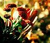 Cozy Warmth (barbara_donders) Tags: winter christmas kerstmis nature natuur warmte gezelligheid flowers bloemen kleurrijk colorfull prachtig mooi beautifull magical bokeh