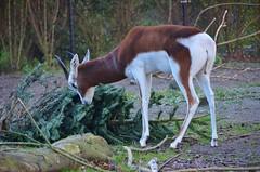 Diergaarde Blijdorp / Rotterdam Zoo (Hugo Sluimer) Tags: diergaarde blijdorp rotterdam zoo natuur nature natuurfotografie natuurfotograaf naturephotography diergaardeblijdorp dierentuin dierenpark diergaardeblijdorprotterdamzoo rotterdamzoo