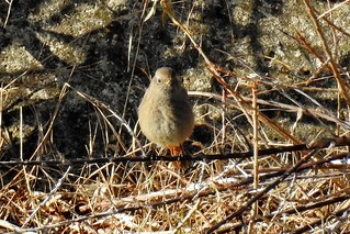 Black Redstart, SovHbr, Dec 28 2017(N) (7)
