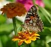Panasonic FZ1000, Butterfly, Botanical Gardens, Montréal, 30 July 2017  (11) (proacguy1) Tags: panasonicfz1000 butterfly botanicalgardens montréal 30july2017