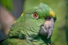 alors là je suis vert (rondoudou87) Tags: perroquet parrot vert green amazone pentax k1 smcpda300mmf40edifsdm sauvage wildlife wild color couleur eye oeil plume feather nature natur bec regard look bokeh bird