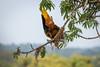IMG_7570 (jaglazier) Tags: 121717 2017 capok copyright2017jamesaglazier december deciduoustrees ecuador napowildlifepreserve naturepreserves orellana trees animals birds oropendola parks orellanaprovince