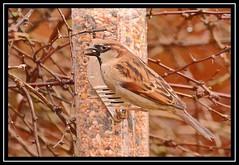 """Peckish Sparrow..."" (NikonShutterBug1) Tags: nikond7100 tamron70300mm birds ornithology wildlife nature spe smartphotoeditor birdfeedingstation bokeh birdsfeeding sparrow 7dwf"
