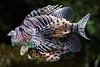 Lion Fish im Oceanario Lissabon (OnTheRoadAgainBlog) Tags: portugal lisbon oceanario lionfish fish