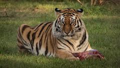 Hope the amur tiger. (pitkin9) Tags: animal amurtiger namedhope eating meat