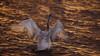 'Looking Forwards' (Jonathan Casey) Tags: bewick swan welney norfolk sunset nikon d810 400mm f28 vr