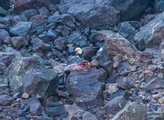 Breakfast (Ranbo (Randy Baumhover)) Tags: oregon oregoncoast pacificocean heceta hwy101 eagle