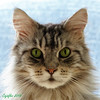 Floris (Cajaflez) Tags: kat kater chat gatto katze pedigree raskat mainecoon huisdier portret portrait greeneyes groeneogen whiskers snorharen floris tomcat coth5