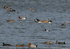 Goldeneye on choppy water (magpie280168) Tags: summerleys wildlifetrusts naturereserve bcnwildlifetrust goldeneye canadageese wigeon coot