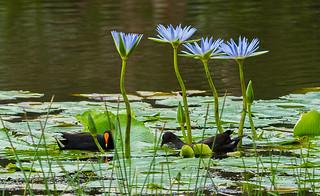 Water-lily-umbrella_DSC0836