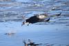 American Bald Eagle Fishing [3167] (cl.lin) Tags: iowa mississippiriver leclaire americanbaldeagle eagle nature lockanddam14 ld14