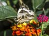 Alana White Skipper on Lantana (PriscillaBurcher) Tags: heliopetesalana heliopetes pyrginae skipper whiteskipper veinedwhite butterfliesfromcolombia mariposasdecolombia alanawhiteskipper l1740594