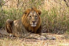 The King (Mario Barbieri Photography) Tags: 2009 canonef100400mmf4556lisusm canoneos50d ingrandimenti ingrandimentistampati leone pindareserve sudafrica thebestofthebest thebestof hluhluwe kwazulunatal za
